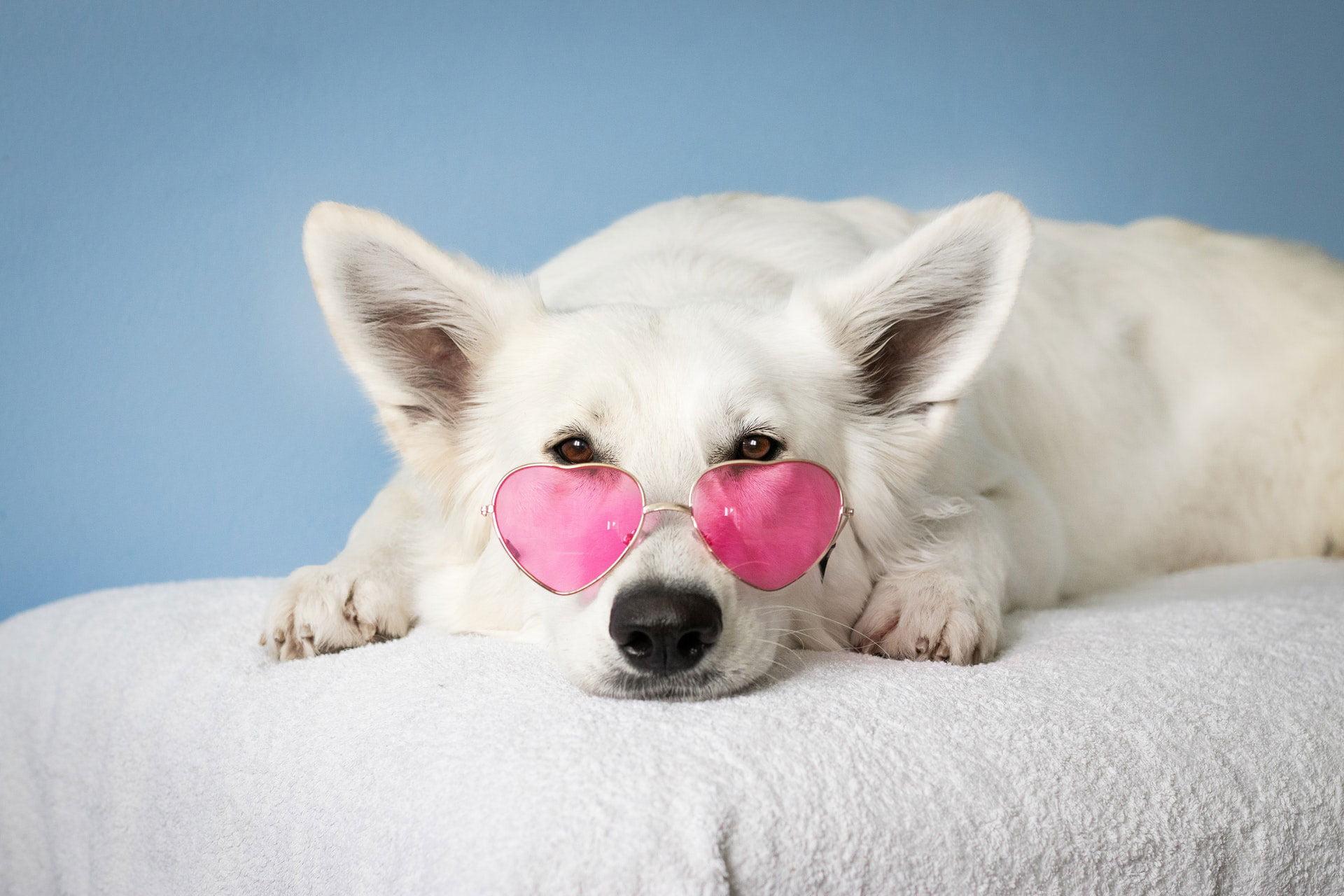 White dog wearing pink heart shaped sunglasses